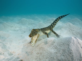 Saltwater Crocodile Swimming Near the Sandy Sea Floor (Crocodylus Porosus)  Micronesia  Palau