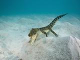 Saltwater Crocodile Swimming Near the Sandy Sea Floor (Crocodylus Porosus)  Micronesia  Palau