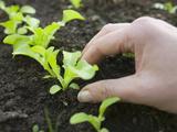 Hand Holding a New Lettuce Seedlings in a Garden