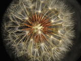 Dandelion Seeds (Taraxacum Officinale)  Stereomicroscopy