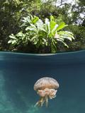 Mastigias Jellyfish (Matigias Papua)  Risong Bay  Micronesia  Palau