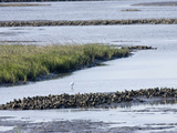 Tidal Salt Marshes with Smooth Cordgrass  Eastern Oyster  Great Egret  Stono River