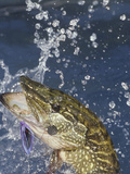 Northern Pike (Esox Lucius) Surfacing with a Lure in its Mouth