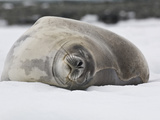Weddell Seal Resting on Ice  Leptonychotes Weddellii  Antarctica