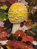 Fly Agaric (Amanita Muscaria) a Poisonous and Hallucinogenic Mushroom  Lake Superior State Forest