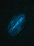 Comb Jellyfish (Tentaculata) Marsa Alam  Red Sea  Egypt
