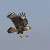Crested Caracara in Flight (Caracara Cheriway)