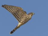 Merlin Flying