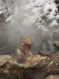 Young Japanese Macaque or Snow Monkey in a Hot Spring (Macaca Fuscata)  Jigokudani Park  Japan