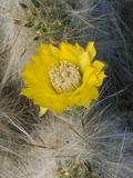 Cactus (Tephrocactus Floccosus)  Peru