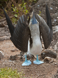 Blue-Footed Booby Courtship Display (Sula Nebouxii)  North Seymour  Galapagos Islands  Ecuador