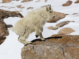 Yearling Mountain Goat (Oreamnos Americanus)  Rocky Mountains  North America