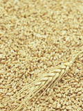 Wheat Stem and Grains