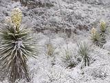 Torrey's or Great Yuccas (Yucca Torreyi) with Snow  Carlsbad Caverns National Park  New Mexico  USA