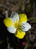 Carnival Poppy (Meconella Linearis)  Bodega Head State Park  Sonoma County  Family Papaveraceae