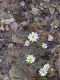 Desert Star (Monoptilon Bellioides)  Death Valley National Park  California