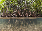 Split Image of Mangroves and their Extensive Prop Roots  Risong Bay  Micronesia  Palau