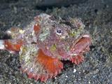 Devil Scorpionfish (Scorpaenopsis Diabolus)  Sitting on Coral Sand  Indonesia