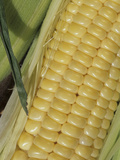 Close-Up of an Ear of Kandy Korn Variety Sweet Corn