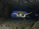 Green Sea Turtle (Chelonia Mydas) an Endangered Species  Swims Through a Tunnel