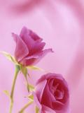 Roses (Rosa)  Centennial Variety