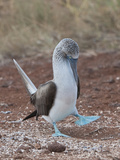 Blue-Footed Booby Courtship Display (Sula Nebouxii)  North Seymour  Galapagos Islands  Ecuador