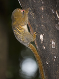 Pygmy Marmoset (Callithrix Pygmaea) Feeding on Sap from Holes Gnawed in Bark