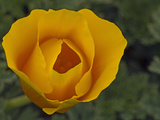 California Poppy (Eschscholzia Californica) Is the State Flower of California