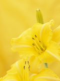Day Lily Flowers (Hemerocallis)  Coburg Preview Variety