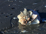 Knobbed Whelk Shell on Sandy Beach