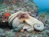 Common Octopus over Reef (Octopus Vulgaris)  Cap De Creus  Costa Brava  Spain