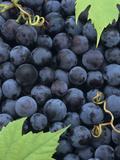 A Harvest of Juicy Concord Grapes