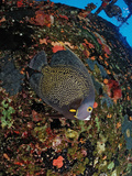 French Angelfish on the Hilma Hooker Ship Wreck  Pomacanthus Paru  Netherlands Antilles