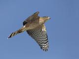 Sharp-Shinned Hawk Flying (Accipiter Striatus)