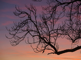 Winter Deciduous Tree Branching Pattern at Sunset