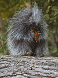 Porcupine (Erethizon Dorsatum) Eating Berries
