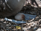 Waved Albatross Incubating an Egg (Phoebastria Irrorata)  Galapagos Islands  Ecuador