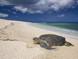 Green Sea Turtle on a Beach (Chelonia Mydas)  Oahu  Pacific Ocean  Hawaii  USA