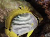 This Black-Back Butterflyfish (Chaetodon Melannotus)