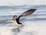Black Skimmer (Rynchops Niger) Foraging for Fish by Skimming the Water's Surface