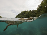 Saltwater Crocodile Swimming with its Head Just Above the Surface (Crocodylus Porosus) Micronesia