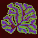 A Section of the Cerebellum Fluorescently Labeled for the Ip3 Receptor Found in Purkinje Neurons