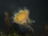 Lion's Mane Jellyfish (Cyanea Capillata)  Katmai National Park  Alaska