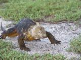 Galapagos Land Iguana Walking (Conolophus Subcristatus)  North Seymour  Galapagos Islands  Ecuador