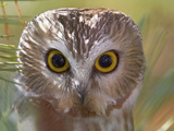 Northern Saw-Whet Owl Head