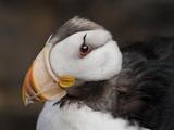 Horned Puffin Head (Fratercula Corniculata)  Seward  Alaska  USA