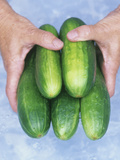 Cucumbers Being Washed (Cucumis Sativus)