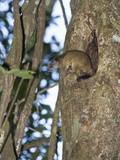 Yellow-Crowned Brush-Tailed Rat (Isothrix Bistriata) Emerging from its Den in a Tree Cavity