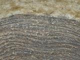 Living Stromatolites  Glacier National Park  Montana  USA  Museum of the Rockies  Bozeman  Montana