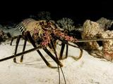 Banded Spiny Lobster (Panulirus Marginatus)  an Endemic Species to Hawaii  USA